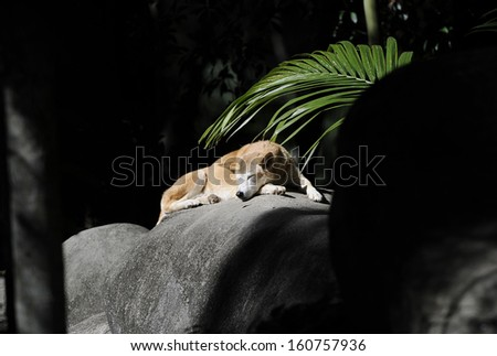 australian dingo sunbaking on rock, fraser island, north queensland, australia - stock photo