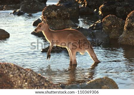 australian eastern grey kangaroo in water on beach, cape hillsborough, mackay , north queensland - stock photo