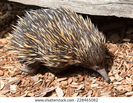 Australian echidna - stock photo