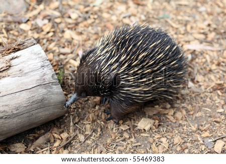 australian echidna in the bush looking for food - stock photo