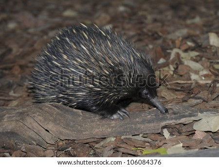 australian echidna or spiny anteater fossicking on forest floor, queensland, australia, like hedgehog - stock photo