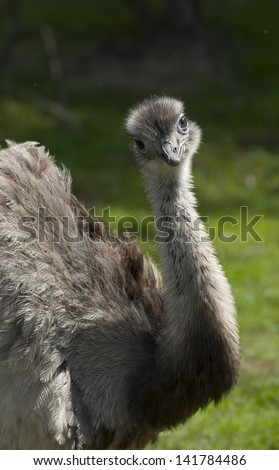 Australian emu - stock photo