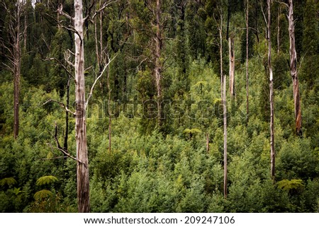 Australian forest scenic with ferns, ash and gum trees near Marysville, Victoria
