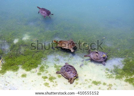 Australian fresh water turtles swimming in natural habitat in the shallows of a large pond. - stock photo