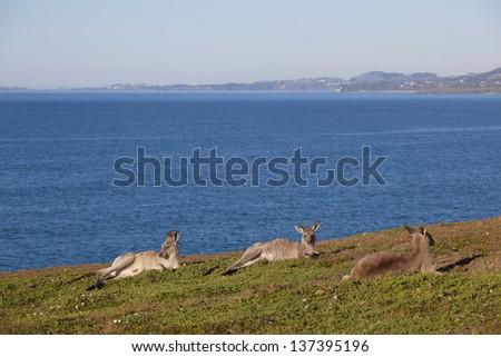 Australian grey kangaroo laying down against blue sky and ocean views - stock photo