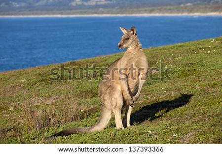 Australian grey kangaroo standing against blue sky and ocean views - stock photo
