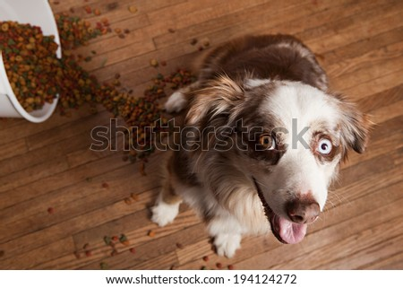 Australian husky looking up at the camera sitting next to a tipped trash can full of dog food. - stock photo