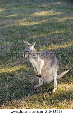 Australian kangaroo - stock photo