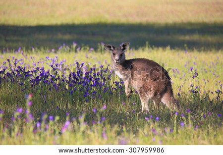 Australian kangaroo in a field of flowering bushland.  NSW Australia - stock photo