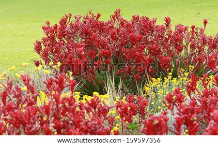 Australian Kangaroo Paw flowers in garden with green grass background - stock photo