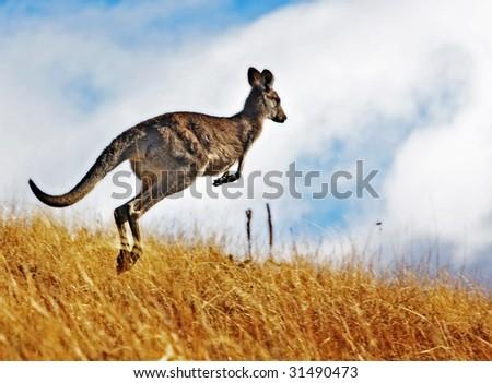 Australian Kangaroo, roaming free in the outback bush - stock photo