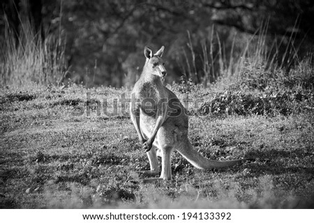 Australian Kangaroo's at sunset in the wild