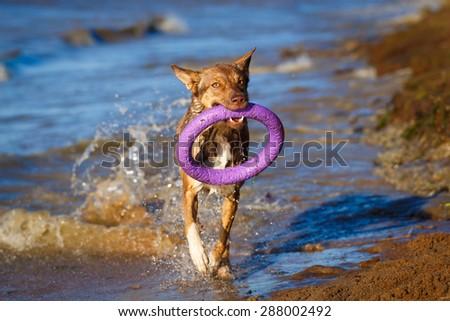 Australian Kelpie dog - stock photo