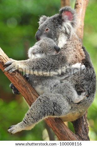 Australian Koala Bear holding her baby or joey in eucalyptus tree, Sydney, NSW, Australia. exotic mammal mum motherhood embrace protective with infant son daughter in tropical jungle rainforest - stock photo