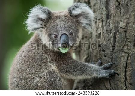 australian koala sit on tree, Sydney, NSW, australia. exotic iconic aussie mammal animal with infant in lush jungle rainforest - stock photo