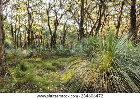 Australian landscape of grass trees in South Australia's Deep Creek Conservation Park - stock photo