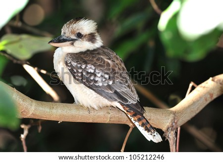 australian laughing kookaburra or kingfisher on branch, mackay, queensland, australia - stock photo