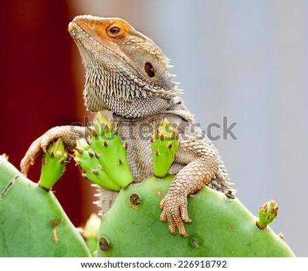 australian lizard just chilling - stock photo