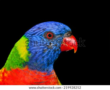 australian lorikeet unbelievable bright feathers.  - stock photo