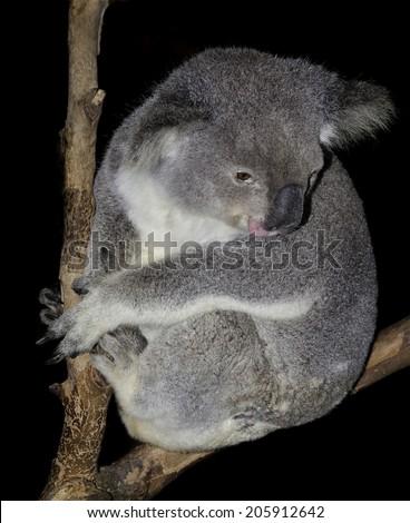 australian marsupial the iconic koala. this one in unusually awake  - stock photo