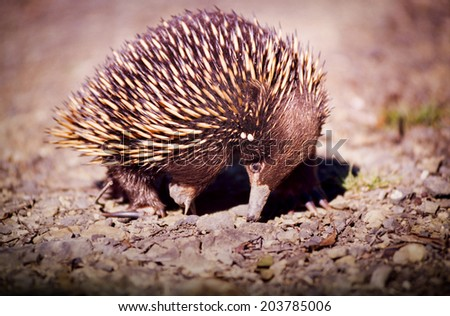 Australian native Echidna animal with its spikey back for protection