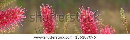 Australian nature with pink spring grevillea wildflowers on banner with panorama aspect - stock photo