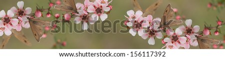 Australian panoramic Australiana banner for smart phone and tablet panorama with live natural wild butterfly and leptospernum flowers of Australia - stock photo