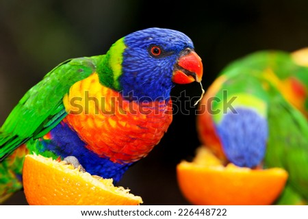 australian parrot very noisy and very bright colors the lorikeet - stock photo