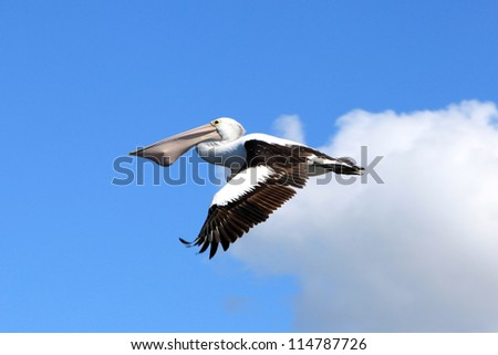 Australian Pelican flying with a fish in its mouth - stock photo
