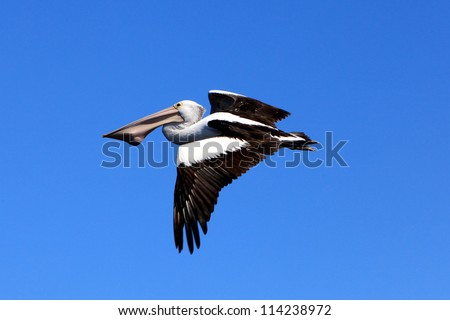 Australian Pelican flying with fish in its mouth, Pelecanus conspicillatus - stock photo