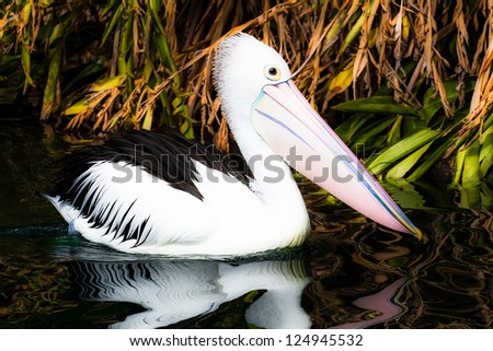 Australian pelican has a rest ( HDR image ) - stock photo