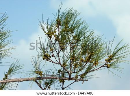 Australian Pine branch against soft sky - stock photo