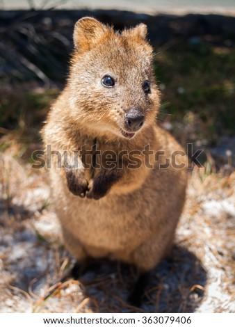 Australian Quokka on rottnest island looking  into the camera - stock photo