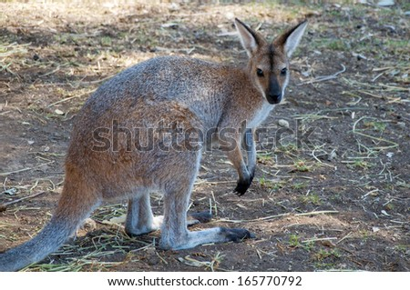 Australian Red Necked Wallaby - stock photo