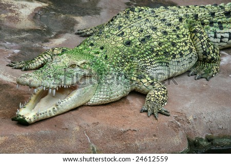 Australian Saltwater Crocodile - stock photo