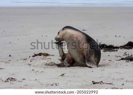 Australian Sea Lion on kangaroo island - stock photo