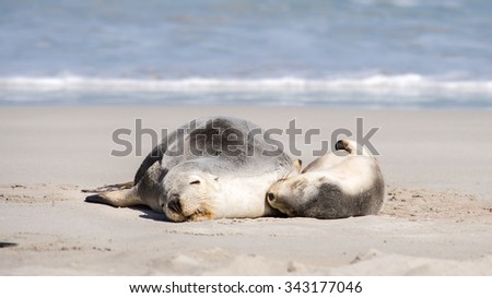 Australian sea lions (Neophoca cinerea), adult and pup, cuddling, at Seal Bay Conservation Park, Kangaroo Island, South Australia. - stock photo