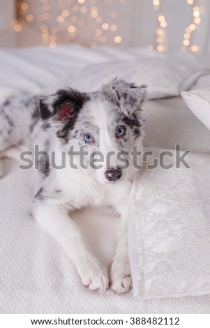 Australian Shepherd (Aussie ), 3 months old, sitting on the bed, white bedding, flashlights - stock photo
