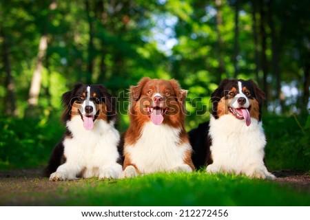 Australian shepherd dog - stock photo