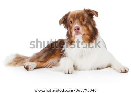 Australian Shepherd dog breed dog red merle lying on the floor and watch attentively - stock photo