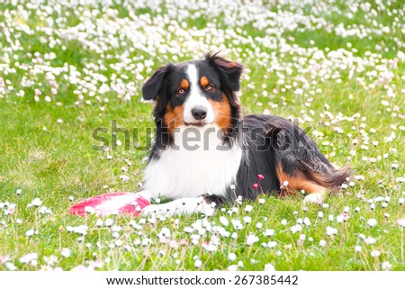 Australian shepherd dog lying on lawn  - stock photo