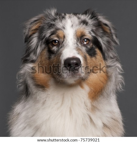 Australian Shepherd dog, 10 months old, in front of grey background - stock photo