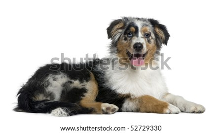 Australian Shepherd dog, 4 months old, in front of white background - stock photo
