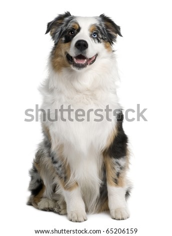 Australian Shepherd dog, 9 months old, sitting in front of white background - stock photo