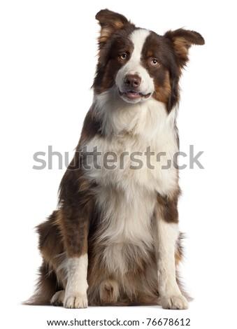Australian Shepherd dog, 9 months old, sitting in front of white background