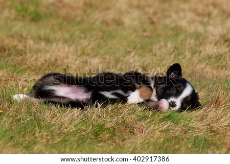 australian shepherd dog puppy on meadow - stock photo