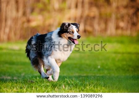 Australian shepherd dog running - stock photo