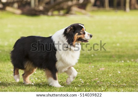 Australian Shepherd dog walking in the park