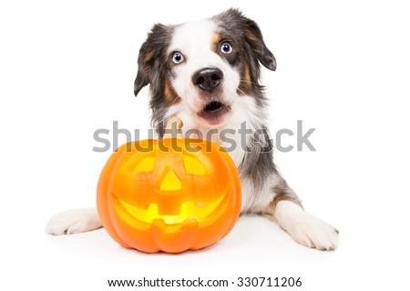 Australian Shepherd Dog with Halloween pumpkin looks surprised - stock photo