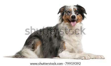 Australian Shepherd dog, 2 years old, lying in front of white background - stock photo